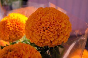 Cempasúchil, flor tradicional del Día de Muertos